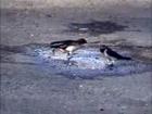 Wire tailed Swallow Hirundo smithii is a small passerine bird
